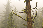 Foggy Day Prints - Moss And Lichen-covered Conifer Trees Print by Phil Schermeister
