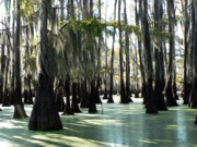 Cypress Swamps Framed Prints - Moss Blanket Framed Print by Joy Tudor