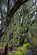 Waterway Prints - Moss Covered Trees Print by Garry Gay