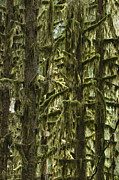 Hoh Photos - Moss Covered Trees, Hoh Rainforest by Konrad Wothe