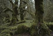 Hoh Photos - Moss-covered Trees In The Hoh River by Sam Abell