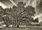 Golf Holes Framed Prints - Moss-Draped Live Oaks Sepia Toned Framed Print by Phill  Doherty