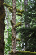 Forgotten Originals - Moss-draped trees on Tiger Mountain WT USA by Christine Till