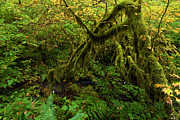 Oregon State Art - Moss In The Rainforest by Adam Jewell