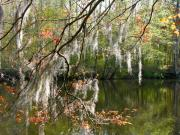 Waccamaw River Prints - Moss over the Waccamaw Print by Thomas Lovelace