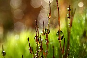 Dew Drops Posters - Moss Sparkles Poster by Sharon Johnstone