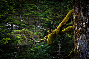 Sitka Framed Prints - Mossy Branch Framed Print by Adam Pender