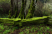 Split Rail Fence Acrylic Prints - Mossy fence 3 Acrylic Print by Bob Christopher