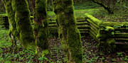 Split Rail Fence Acrylic Prints - Mossy Fence Acrylic Print by Bob Christopher