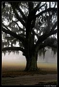 Lowcountry Metal Prints - Mossy Oak Metal Print by Scott Hansen