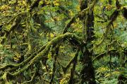 Drooping Posters - Mossy Tree Branches Poster by Greg Vaughn - Printscapes