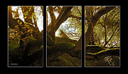 Soft Lighting Prints - Mossy Tree Triptych 3 Print by Cheryl Young