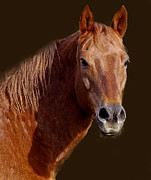 Portratit Posters - Most Beautiful Horse Alive Poster by Jenny Gandert