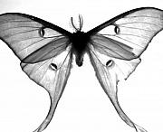 Moth-butterflies Digital Art - Moth by Amanda Barcon