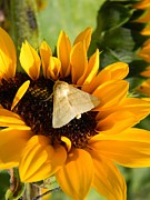 Buffet Posters - Moth and Sunflower Buffet Poster by Warren Thompson