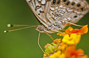 Moth On Flower Clusters Print by Lisa  Spencer