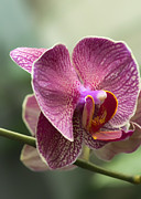 Orchids Digital Art Prints - Moth Orchid Curvation Print by Bill Tiepelman