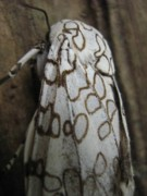 Bugs Photos - Moth by Rebecca Shupp