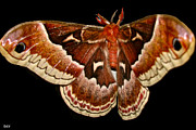 Lush Colors Posters - Moth Red Wings Poster by Debra     Vatalaro