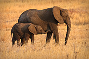 African Elephant Prints - Mother and Baby Print by Adam Romanowicz