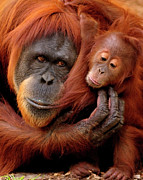 Orangutan Framed Prints - Mother And Baby Framed Print by Andrew Rutherford  - www.flickr.com/photos/arutherford1