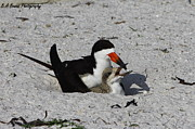Mother And Baby Black Skimmer Print by Barbara Bowen