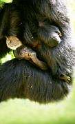 Monkey Digital Art - Mother and Baby Monkey by Lesley Smitheringale