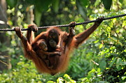 Agility Prints - Mother and baby Orang Utan playing Print by Sami Sarkis