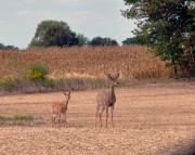 Zoomorphic Photos - Mother and Bambi by Brittany H