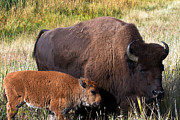 American Bison Photo Originals - Mother and Calf by Sue Karski