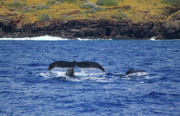 Humpback Whale Metal Prints - Mother and Calf Whaletails Metal Print by Brian Governale