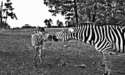 Zebras Photos - Mother and Child-Black and White by Douglas Barnard