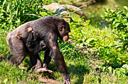Monkey Photos - Mother and Child by Gert Lavsen