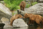 Kodiak Prints - Mother and Cubs Print by Mike Cavanaugh