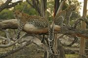 Botswana Prints - Mother And Daughter Leopards Touch Print by Beverly Joubert