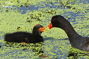 Circle B Bar Posters - Mother common Gallinule feeding baby chick Poster by Barbara Bowen