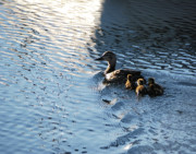 Joseph Duba - Mother Duck with Babies...