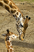 Motherhood Posters - Mother giraffe with her baby Poster by Garry Gay