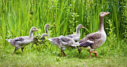 Mother Goose Posters - Mother goose leading goslings Poster by Simon Bratt Photography