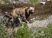 American Brown Bear Posters - Mother Grizzly Bear 2 Cubs Many Glacier in Glacier N P Poster by Paul Cannon