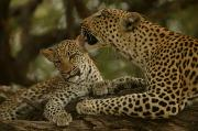 Grooming Prints - Mother leopard, Panthera Print by National Geographic