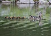 Mother Mallard And Ducklings Print by Jeanne Kay Juhos