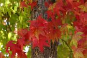 Red Leaves Photos - Mother Natures Style by Donna Blackhall