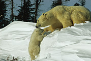 Snow Scenes Framed Prints - Mother Polar Bear Coaxes Her Cub Framed Print by Norbert Rosing