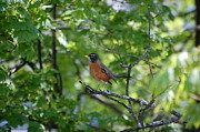 Avian Greeting Cards Posters - Mother Robin Poster by Kristine McNamara
