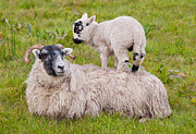 Blackface Prints - Mother sheep and lamb Print by Margaret S Sweeny