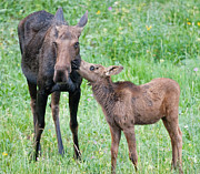 Animal Photos - Mothers Day Moose by Max Waugh