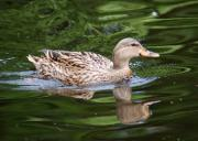 Birds Glass Art - Mottled Duck by Christine Savino