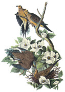 North American Wildlife Posters - Mounring Dove Poster by John James Audubon