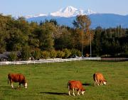 Mount Baker From Langley Bc Print by Marion McCristall